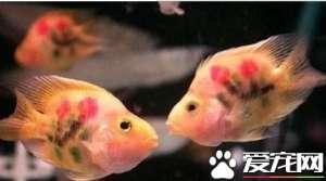 小热带鱼吃什么 小热带鱼喜欢吃蛋黄水